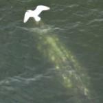 Grey Whale Spotted Under Burrard Bridge