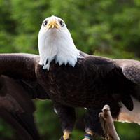 Bald eagle at Vancouver Aquarium