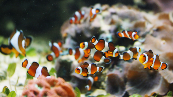 Babies at the vancouver aquarium vancouverscape for Clown fish life cycle