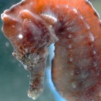 seahorse_featimg