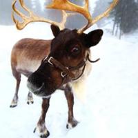 reindeer_featimg
