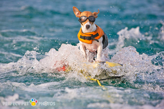 water skiing dog
