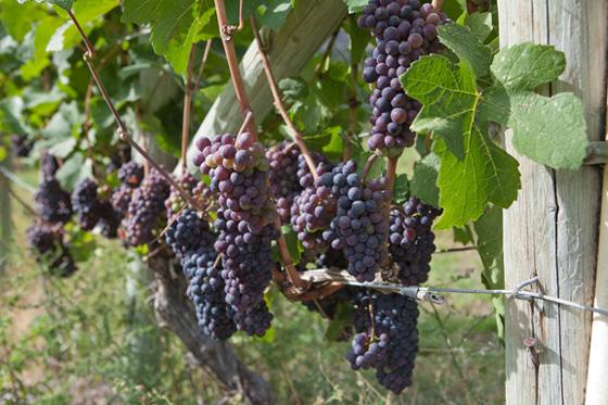 Cawston, BC vineyard