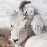 Thinhorn sheep