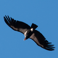 Grand Canyon California Condor