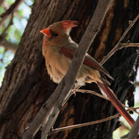 Colourful bird in the tree near pool, Loews Ventana Canyon