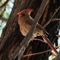 Colourful bird in the tree near pool, Loews Ventana Canyon