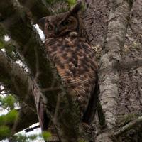 Hastings House owl