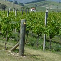 NZ vineyard