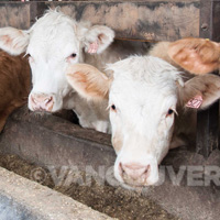 Hopcott Farms cattle