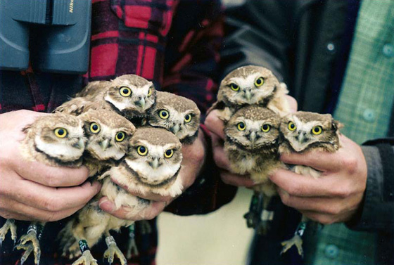 Burrowing Owl chicks; photo by Dawn Brodie