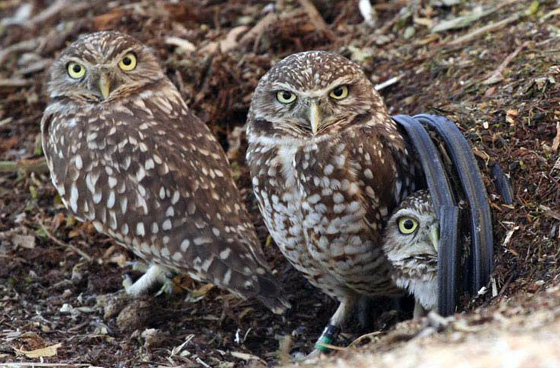 Burrowing Owl family; photo by Mike Mackintosh