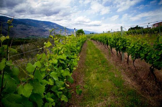 Desert Hills vineyards