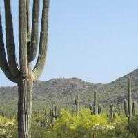 Sonoran cacti