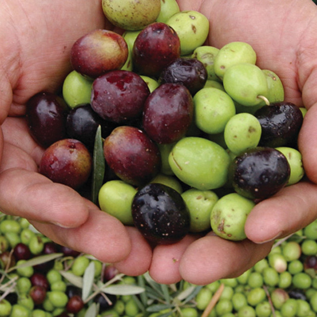 Olives at Queen Creek Olive Mill; photo Visit Mesa