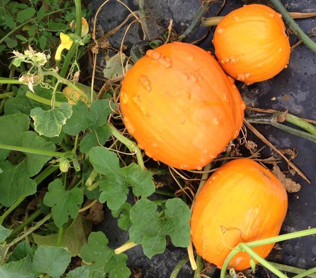 Knucklehead pumpkins, BC