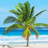 Punta Cana palm tree