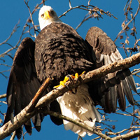 Bald eagle, Squamish, BC