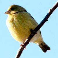 Lesser Goldfinch Abbotsford, BC