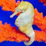 Ocean Rider Offers Visitors a One-of-a-Kind Seahorse Encounter