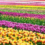 Inaugural Abbotsford Tulip Festival Happens March 25 to May 1