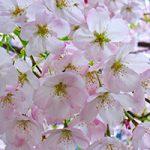 Richmond Cherry Blossom Festival