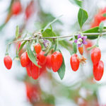 Goji Berry U-Pick Now Available at Taves Family Farms