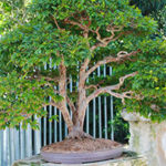 Experience Heathcote, North America's Largest Tropical Bonsai Garden