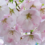 Vancouver Cherry Blossom Fest: Cancellations/Postponements