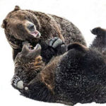 Visit Grouse Mountain Grizzlies Grinder and Coola Virtually