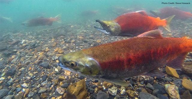 Kokanee Salmon in Kluane